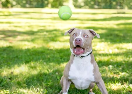 A tan and white Pit Bull Terrier mixed breed dog with a funny expression, about to catch a ball