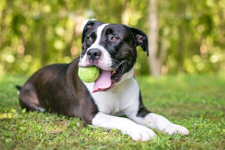 A black and white Pit Bull Terrier mixed breed dog holding a ball in its mouth and relaxing in the grass 写真素材