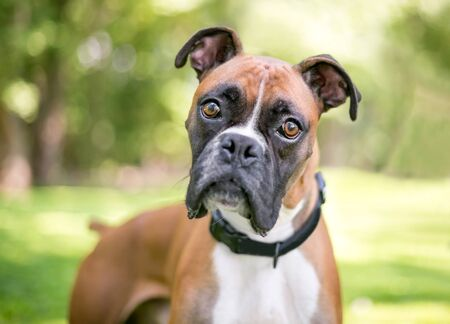 A purebred Boxer dog outdoors listening with a head tilt