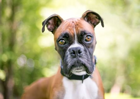 Close up of a purebred Boxer dog outdoors looking at the camera