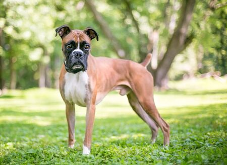 A purebred Boxer dog with floppy ears and a docked tail standing outdoors Banco de Imagens