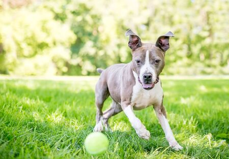A gray and white Pit Bull Terrier mixed breed dog with floppy ears chasing a ball outdoors