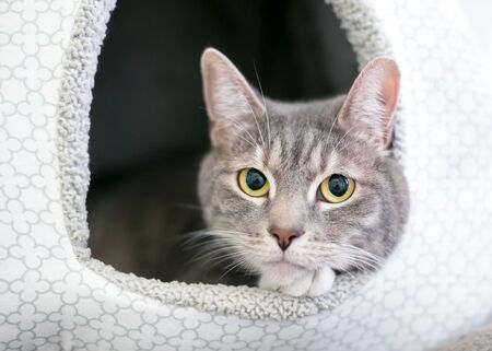 A gray tabby domestic shorthair cat relaxing inside a covered cat bed Фото со стока
