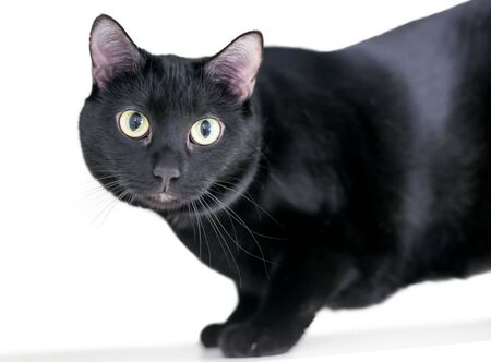 Close up of a black domestic shorthair cat with yellow eyes