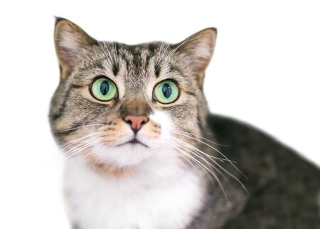 A tabby and white domestic shorthair cat with bright green eyes Banco de Imagens