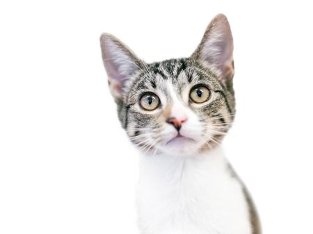 A cute domestic shorthair kitten with tabby and white markings