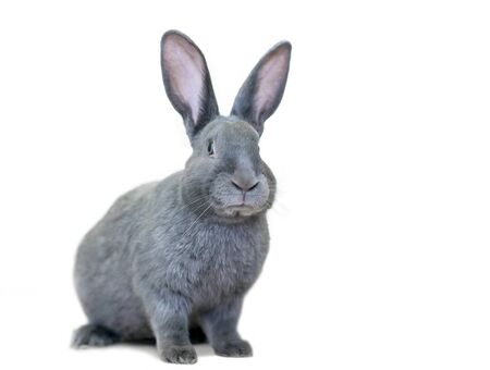 A gray American rabbit with large ears