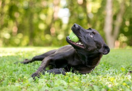 A happy black mixed breed dog lying in the grass and holding a tennis ball in its mouth