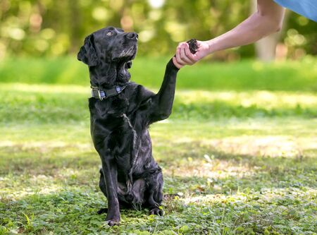 A black Labrador Retriever dog outdoors giving its paw for a handshake with a person Banco de Imagens