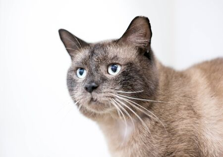 A Burmese cat with its ear tipped, indicating that it has been spayed or neutered and vaccinated