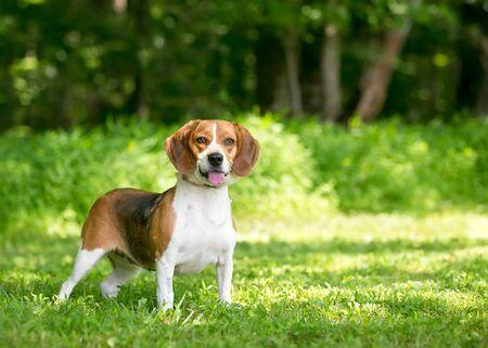 An alert tricolor Beagle dog standing outdoors