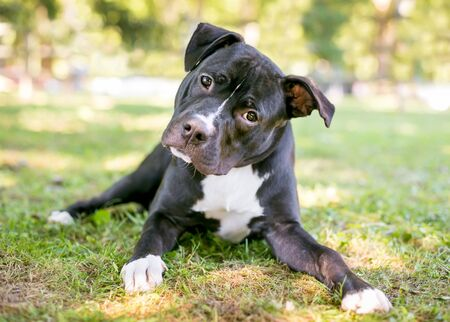 A curious black and white Pit Bull Terrier mixed breed dog lying in the grass and listening with a head tilt Banco de Imagens