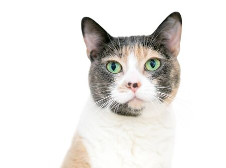 A Dilute Calico domestic shorthaired cat with bright green eyes
