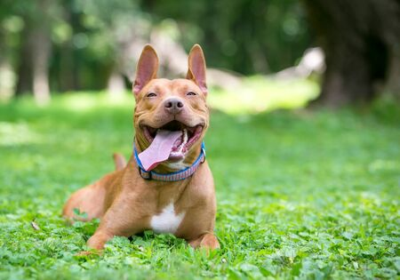 A blissfully happy red and white Pit Bull Terrier mixed breed dog relaxing in the grass with its tongue hanging out Stock Photo