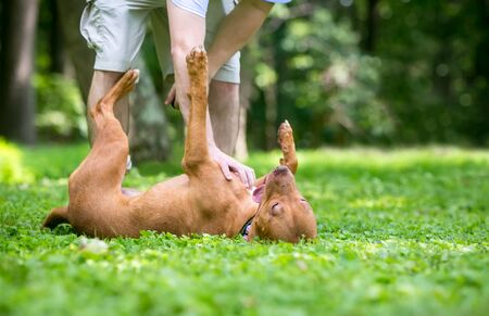 A happy red Pit Bull Terrier mixed breed dog rolling on its back and receiving a belly rub from its owner