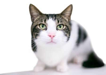 A domestic shorthair cat with tabby and white markings in a crouching position Banco de Imagens