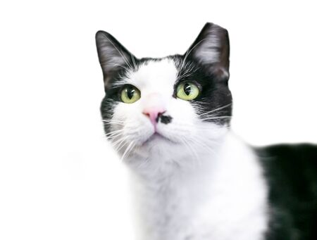 A black and white Tuxedo cat with its left ear tipped, indicating that is has been spayed or neutered and vaccinated as part of a Trap Neuter Return program
