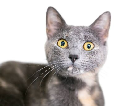 A Dilute Calico domestic shorthaired cat with large yellow eyes and a surprised expression Banco de Imagens
