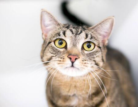 A brown tabby domestic shorthair cat with large yellow eyes
