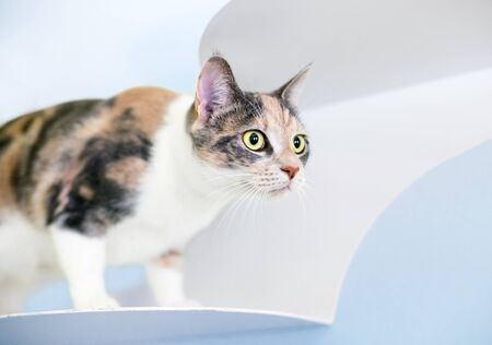 A Dilute Calico domestic shorthaired cat standing on a wall-mounted cat perch, staring intently Banco de Imagens