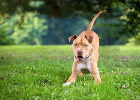 An excited and playful Pit Bull Terrier mixed breed dog crouching in a play bow position