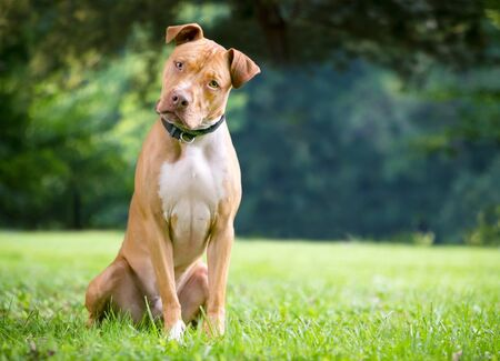 A red and white Pit Bull Terrier mixed breed dog sitting outdoors and listening intently with a head tilt Stock Photo