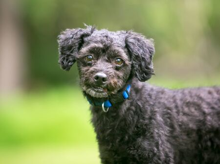 A small black Poodle mixed breed dog outdoors wearing a blue collar