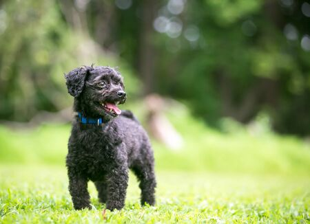 A small black Poodle mixed breed dog standing outdoors