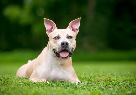 A Pit Bull Terrier mixed breed dog with large ears relaxing in the grass Banco de Imagens