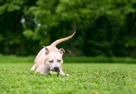 A Pit Bull Terrier mixed breed dog playing with a ball outdoors