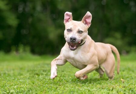An excited Pit Bull Terrier mixed breed dog running outdoors with a happy expression
