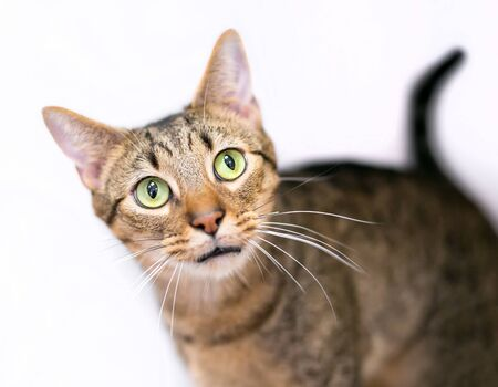 A wide-eyed brown tabby domestic shorthair cat on a white background Banco de Imagens