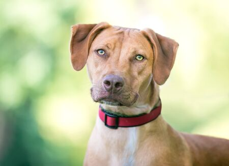 A Vizsla mixed breed dog outdoors wearing a red collar