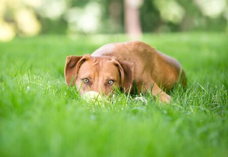 A Vizsla mixed breed dog lying down outdoors with its head down, peeking through the grass