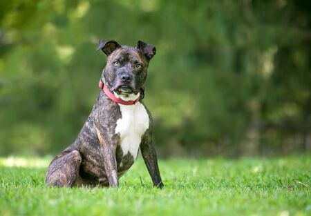 A brindle and white Pit Bull Terrier mixed breed dog sitting outdoors and listening with a head tilt