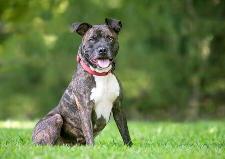 A brindle and white Pit Bull Terrier mixed breed dog sitting outdoors with a happy expression 免版税图像