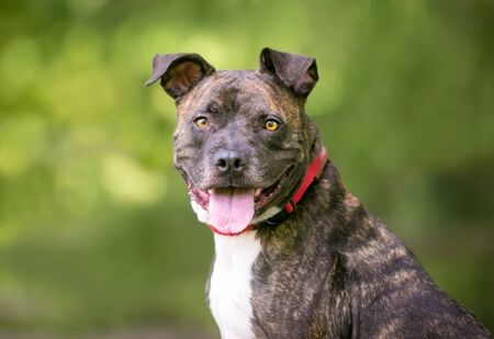 A brindle and white Pit Bull Terrier mixed breed dog with a happy expression Banco de Imagens