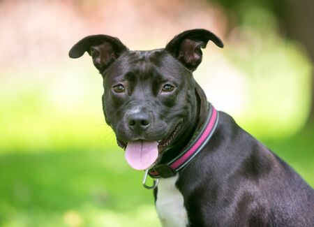 A black and white Pit Bull Terrier mixed breed dog with floppy ears and a happy expression