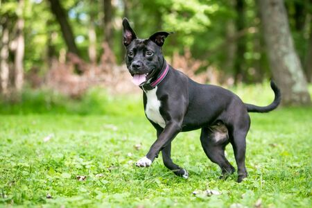 A happy black and white Pit Bull Terrier mixed breed dog with floppy ears running outdoors Banco de Imagens