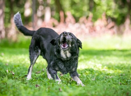 A playful Border Collie  Australian Cattle Dog mixed breed dog standing in a play bow position and barking