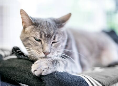 A gray tabby domestic shorthair cat grooming itself