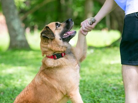 A furry Retriever  Shepherd mixed breed dog shaking hands with a person Banco de Imagens