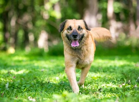 A furry Retriever  Shepherd mixed breed dog walking toward the camera with a happy expression