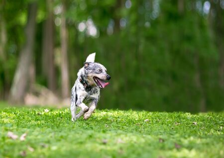 A happy Australian Cattle Dog running outdoors