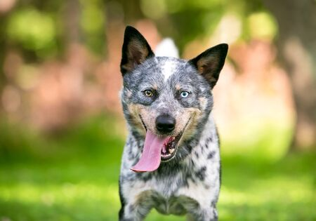 A happy Australian Cattle dog with heterochromia in its eyes, and panting with an extremely long tongue hanging out of its mouth Banco de Imagens