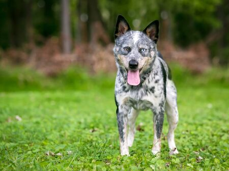 A happy Australian Cattle dog with heterochromia in its eyes, standing outdoors and panting