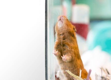 A pet Syrian hamster inside a glass cage