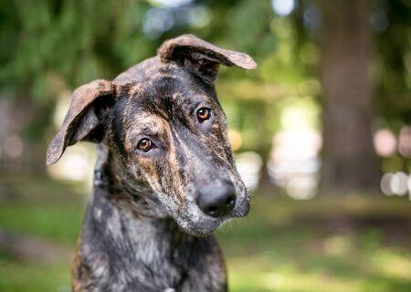 A brindle mixed breed dog with large floppy ears, listening with a head tilt