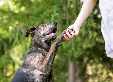 A brindle mixed breed dog offering its paw to a person for a handshake