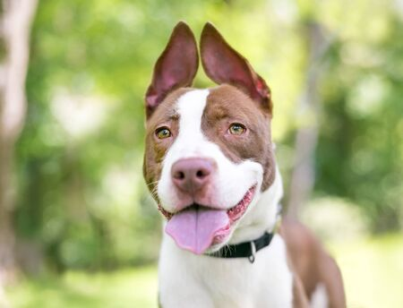 A red and white Pit Bull Terrier mixed breed dog with floppy upright ears 写真素材